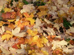 Crispy crunchy autumn leaves