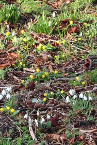 Aconites and snowdrops