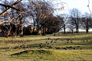 Canada Geese and Catkins