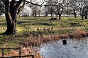 Canada Geese at Riseholme