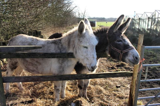Seaside donkeys wintering on a local farm