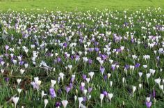Spring flowers in the lawn