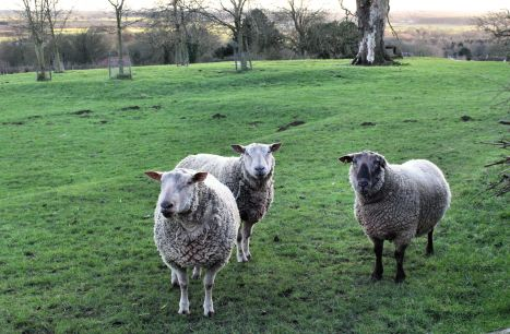 Young rams up on the wolds