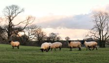 Ewes close to lambing