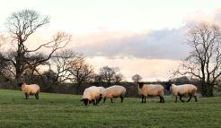Ewes close to lambing