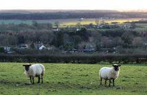 Ewes on the Lincolnshire Wolds
