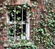 Ivy clad window