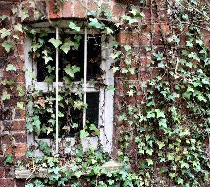 Ivy clad window