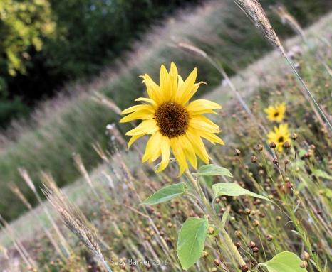 Wildflower headland on Lincolnshire farmland