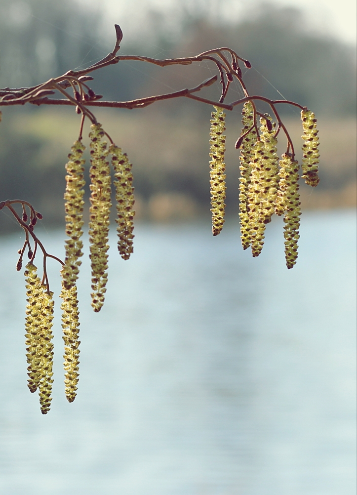 Catkins - a sure sign that spring is on its way