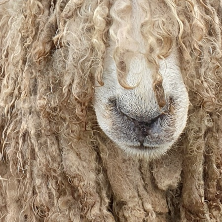 Lincoln Longwool on the Lincolnshire Wolds